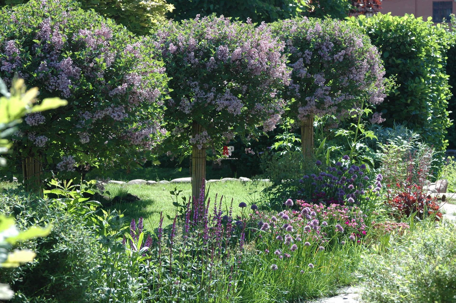 Сирень в ландшафтном дизайне сада